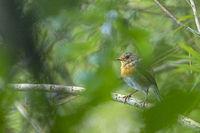 European Robin in the moulting season / Erithacus rubecula