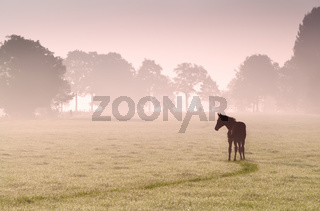 foal silhouette on pasture in fog