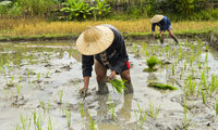 Local men planting paddy rice in a rice field, Luang Prabang, Laos
