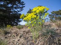 Euphorbia cyparissias_Spurge