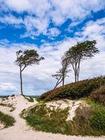 Bäume und Düne am Weststrand auf dem Fischland-Darß