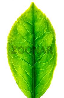Close up tea leaf isolated