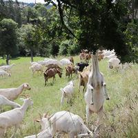 Flock of domestic goats (Capra aegagrus hircus) on pasture
