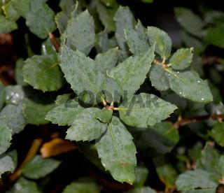 Korkeiche; Quercus suber