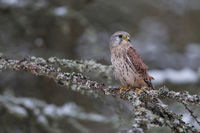 Turmfalke - Maennchen, Falco tinnunculus, common kestrel - male