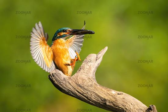 Lovely common kingfisher landing in summer at sunrise