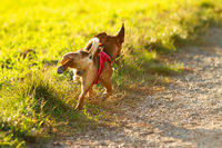 Small brown dog pees on the meadow in golden sunlight.