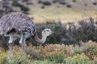 Ostrich in Patagonia