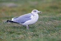 European Herring Gull juvenile bird in second-winter plumage