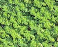 Leaves of Sedum - succulent stonecrop plant (Sedum sieboldii) close up