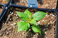 The top view of a young pepper plant seedling