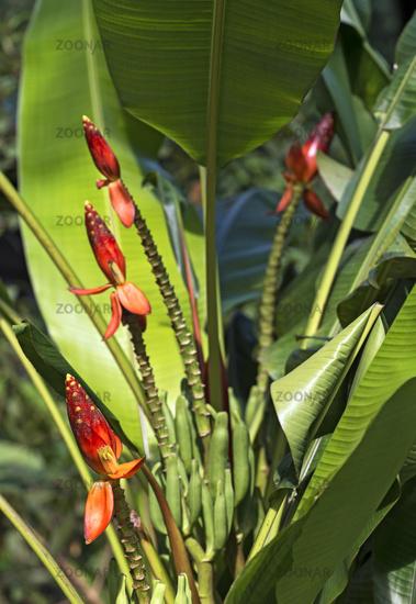 wild banana plant Beccarii Banana with bright red, upright flower-heads, Malaysia