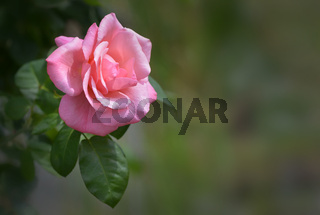 rosa Rose.jpg