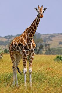 Rothschild-Giraffe im Murchison Falls Nationalpark Uganda (Giraffa camelopardalis rothschildi) | Ugandan giraffe, Murchison Falls National Park Uganda (Giraffa camelopardalis rothschildi)