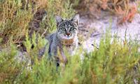 African wild cat, Etosha National Park, Namibia, (Felis silvestris)