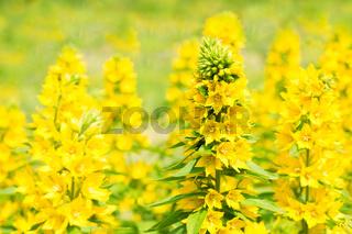 loosestrife flowers
