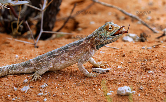 Agama, Kgalagadi Transfrontier National Park, South Africa