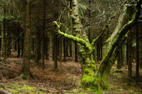 Moss covered old tree trunck in dark pines wood