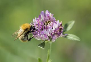 Wildbiene aus der Gruppe der Langhornbienen bei der Pollensuche auf einer Wildklee-Blüte