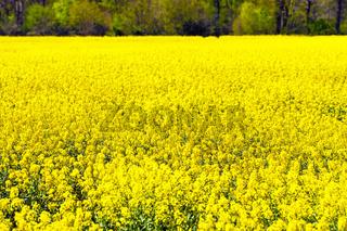 Rapsfeld im Frühjahr in Deutschland