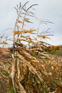 Dried corn stalks in autumn