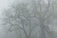 Fraxinus excelsior in the morning mist