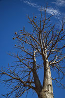 Boab tree with fruits and without leaves at the dry season with blue sky at the Kimberleys - Western Australia