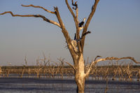Dead trees at the swamp of Lake Argyle at twilight with a pied cormorant breeding in a nest at the outback in Western Australia
