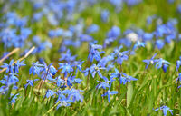 Close up field of blue spring Scilla flowers