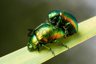 Cetonia aurata. Green-golden beetle on a leaf of grass. Close-up.