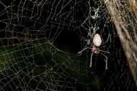 big white spider Nephilengys livida Madagascar