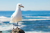 Close up of a Seagull in Sea Point Cape Town South Africa