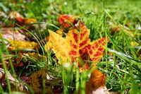 Maple leaf with colourful autumn colouring on a meadow