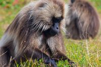 Portrait of baboon monkey, Ethiopia