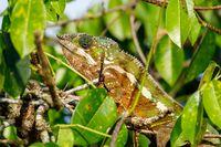 panther chameleon, Masoala madagascar wildlife