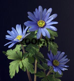 Strahlenanemone, Anemone, Blanda,