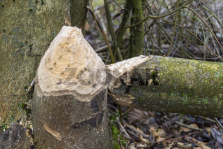 gnawed off tree trunk