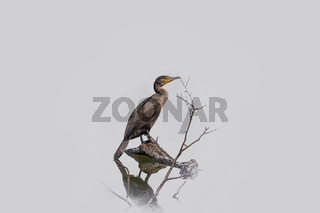 Kormoran 'Phalacrocorax carbo'