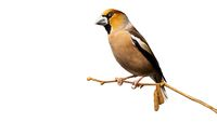 Male hawfinch sitting on branch isolated on white background.