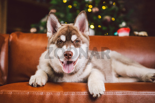 Pet and merry christmas and happy new year concept. Cheerful puppy male husky has fun in living room with large bookshelves, library and sofa in Christmas time evening. Dog home decor new year