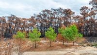 The Chiberta forest a few weeks after the fire, in France