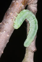 Green butterfly larva