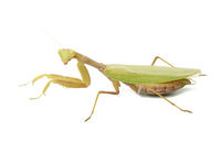 green young mantis sitting on a white background