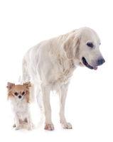 golden retriever and chihuahua