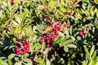 Red berries form mastic tree