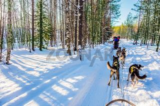 Finnish Husky Sled Dog. Lapland, Finland
