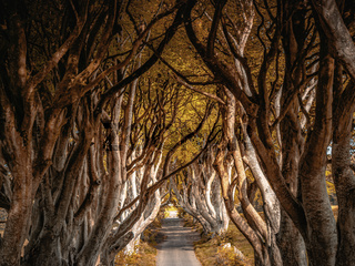 Dark Hedges of Northern Ireland in autumn