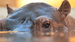 Hippo swims in the river in the evening. Face close up