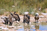 white-backed vultures at Etosha National Park near Etosha pan, Namibia