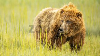 Large Female Grizzly Bear pauses while Feeding on Grasses in Coastal Alaska